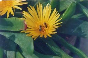 glottiphyllum
